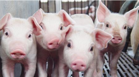非瘟下收猪运猪风险大!生猪收购贩运及承运行为规范