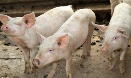 猪价行情低,如何成为那个不被裁的人?