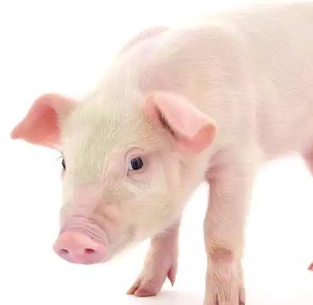 现在农村青年创业适合养猪吗?