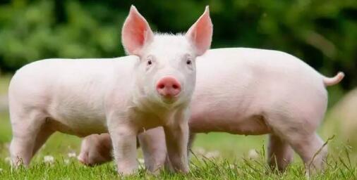 9月猪价或到13.50元/公斤?供给过剩局面改善……
