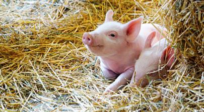 猪价小幅上涨 未来持续攀升可能性不大