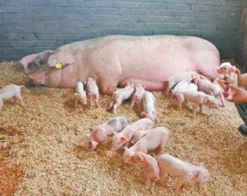 母猪异常淘汰的情况如何消减?