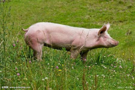 """第七个""""猪周期""""持续50个月?猪价真能稳定上涨吗?"""