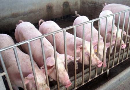 实现精准母猪批次化生产的关键是什么?