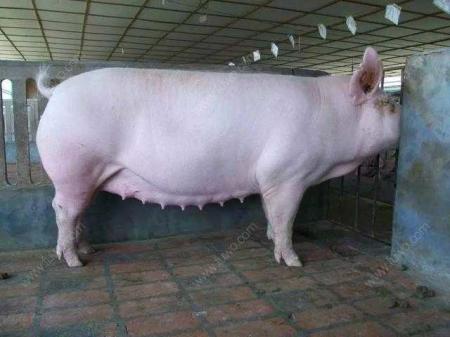 母猪黄金配种方案