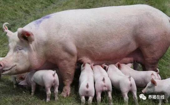 如何做到母猪吃的刚刚好,收获最大化经济效益?