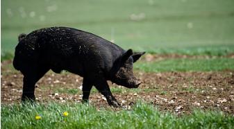 养猪绝招:跟我3步走,母猪便秘不再有!