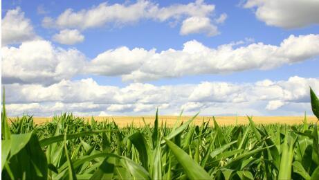 近期东北地区暴雨 玉米大豆产量或将遭受影响