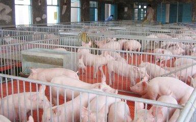 特色养猪为何举步维艰?