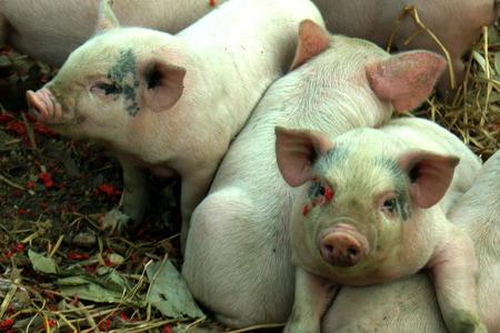 五大利好,让您赚取8月猪价的第一桶金!