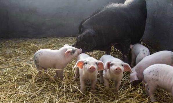 猪粮比价达到盈亏平衡点 生猪养殖走出亏损期