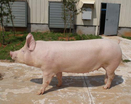 猪价涨势蔓延南北,建议适重逢高分批出栏