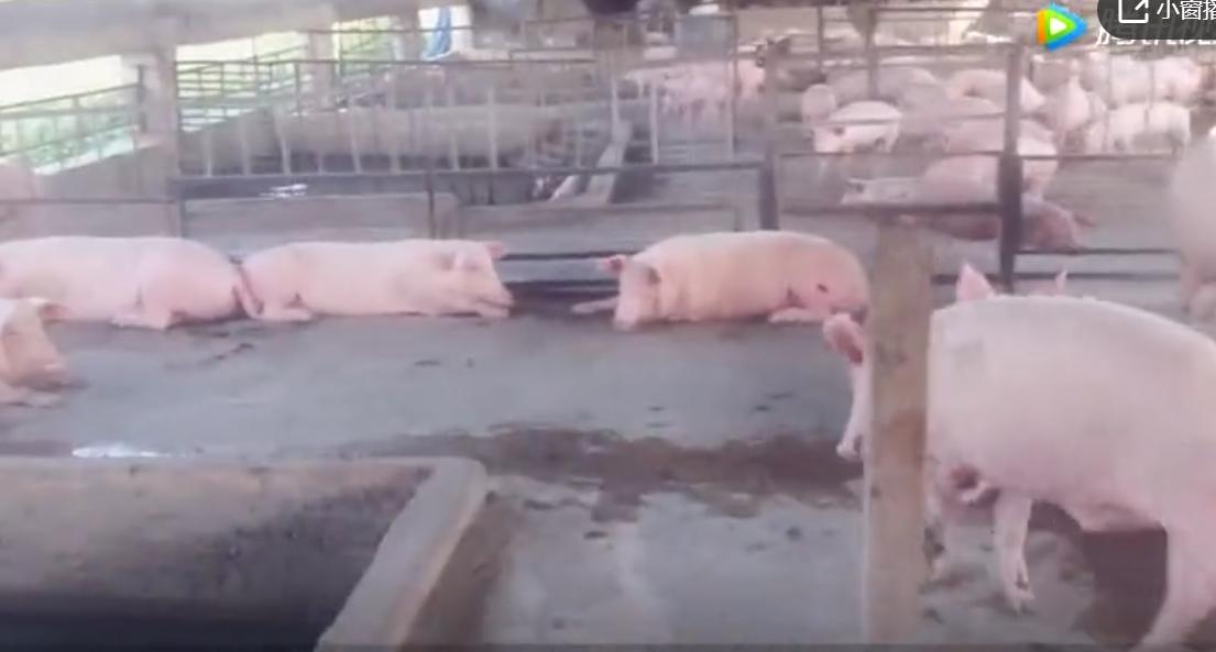 为什么现在的养猪场,都不铺设水泥地面了?