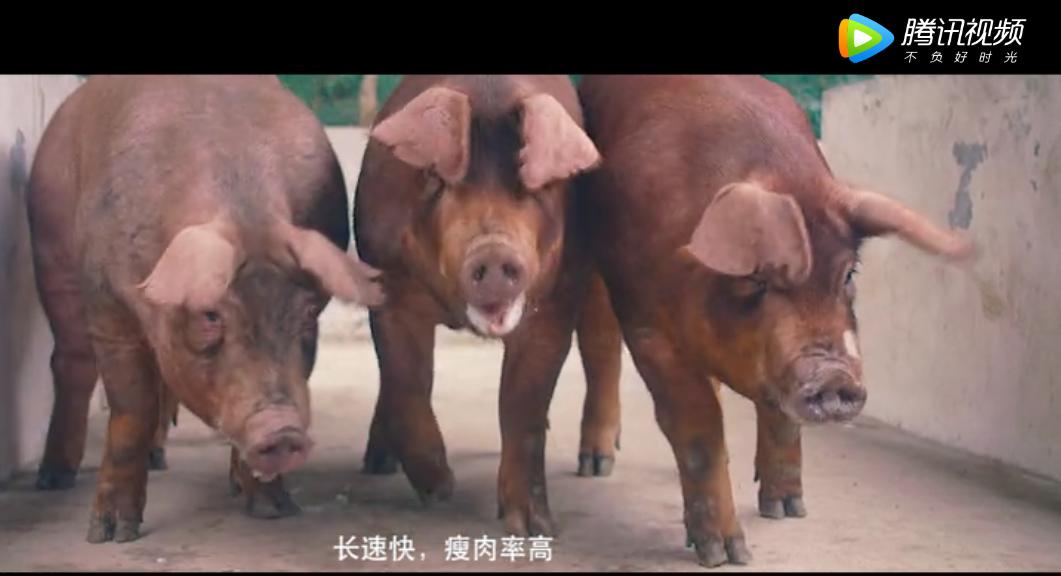 永诚集团种猪选美大赛!