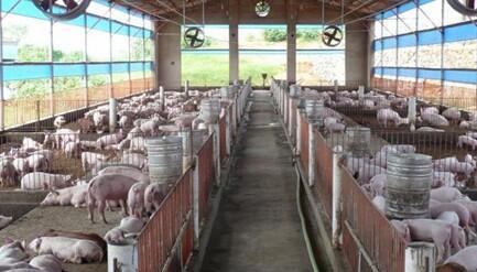 种猪场和商品猪场的耳缺号怎么打?