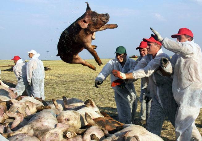 罗马尼亚非洲猪瘟疫情严峻,近5万头猪被宰杀!