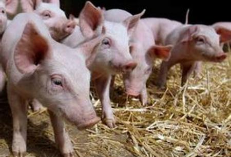 """养猪形成大产业,""""人大代表""""带着群众奔小康"""