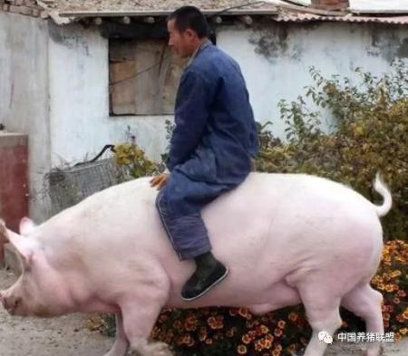 猪价定多少才有利润?专家给农民算了这么一笔账...