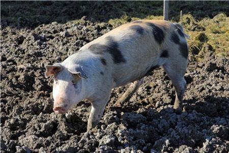 疫情猛如虎!河南发生一起猪O型口蹄疫,173头发病猪被处理!
