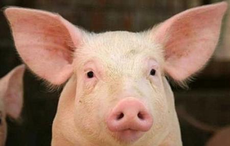 辽宁通报非洲猪瘟疫情最新进展:已经扑杀8116头生猪,每头补八百块