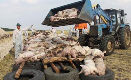 非洲猪瘟,会是那根压垮猪价的稻草吗?