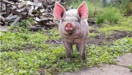 非洲猪瘟来袭,你要知道的几点基础知识!