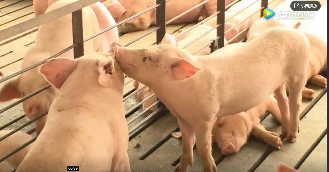农民注意:养猪