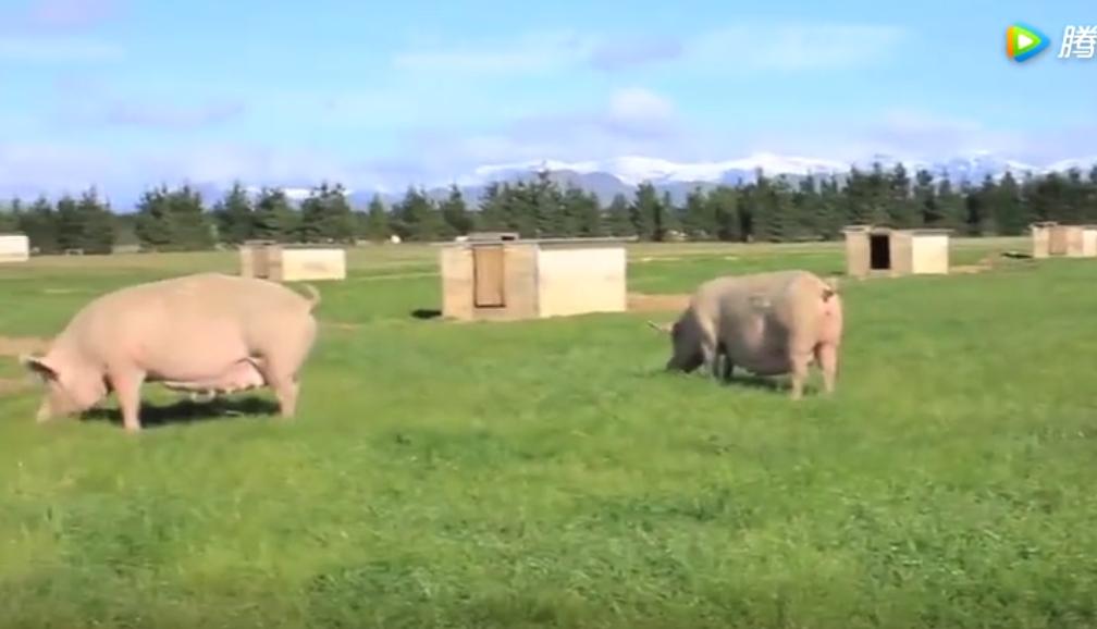 实拍新西兰最新养猪技术!每头猪都要有自己的单间!