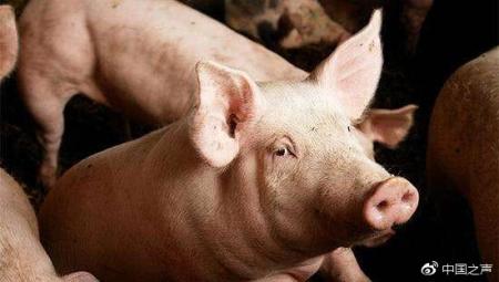 一个月发生三起非洲猪瘟疫情,农业农村部:正调查是否存在联系