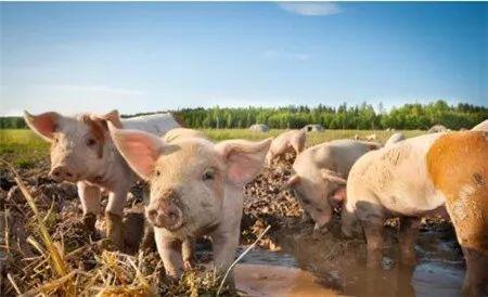 非洲猪瘟的影响?利空猪价、玉米及豆粕?