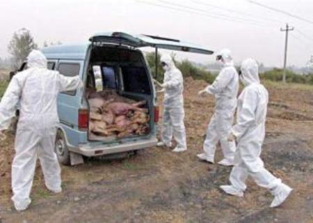 连云港非洲猪瘟疫区1.4万余头猪全部扑杀