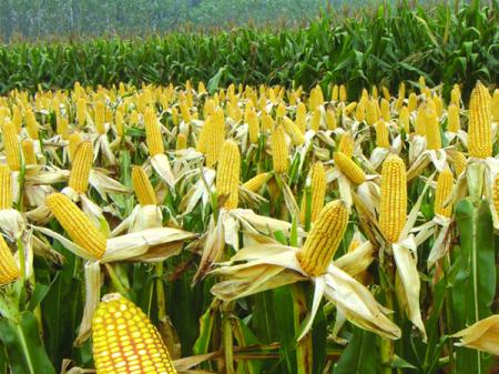 """华北部分企业正式开收新产玉米,价格0.87元/斤!玉米期现货市场再现""""冰火两重天"""""""