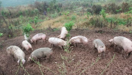 把猪养在田里,不仅没被拆还能过环评!怎么回事?
