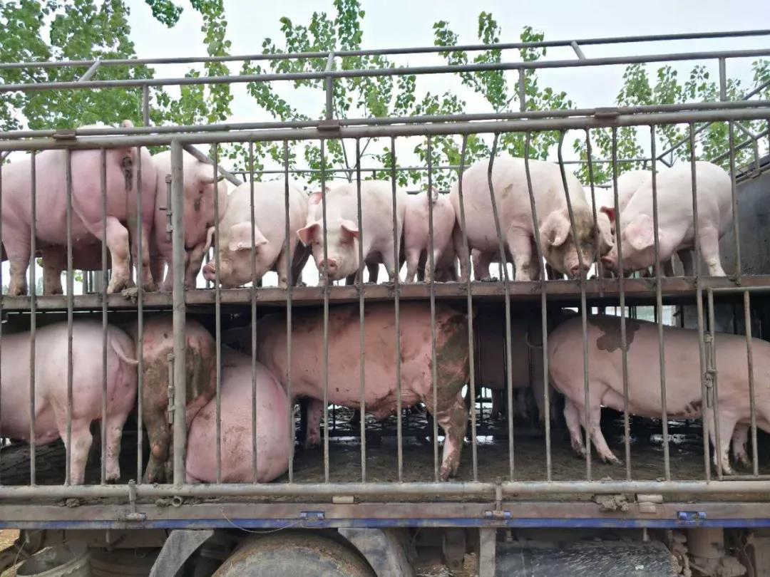 猪价下跌,屠宰场按兵不动,猪贩子:等猪价跌稳了再收猪!