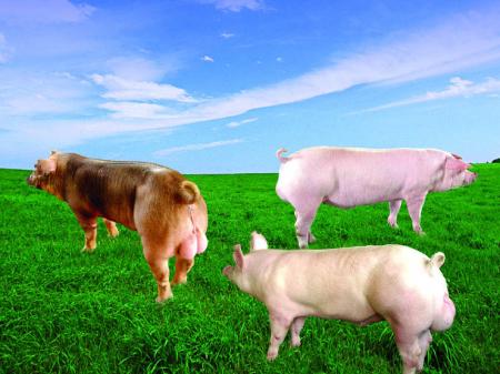 美系、加系、丹系……不同种猪品系的优缺点比较!