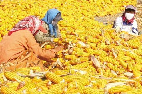 风雨飘摇的玉米迎来做多机会?产区高温多雨天气牵动人心