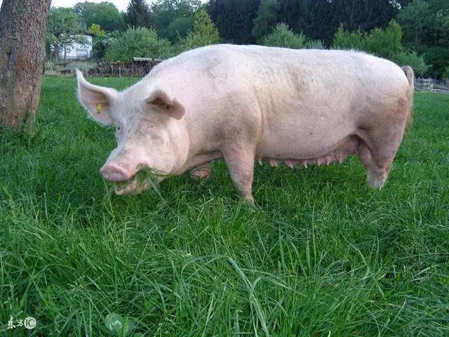 简单操作,后备母猪发情配种率≥90%,经产母猪>95%