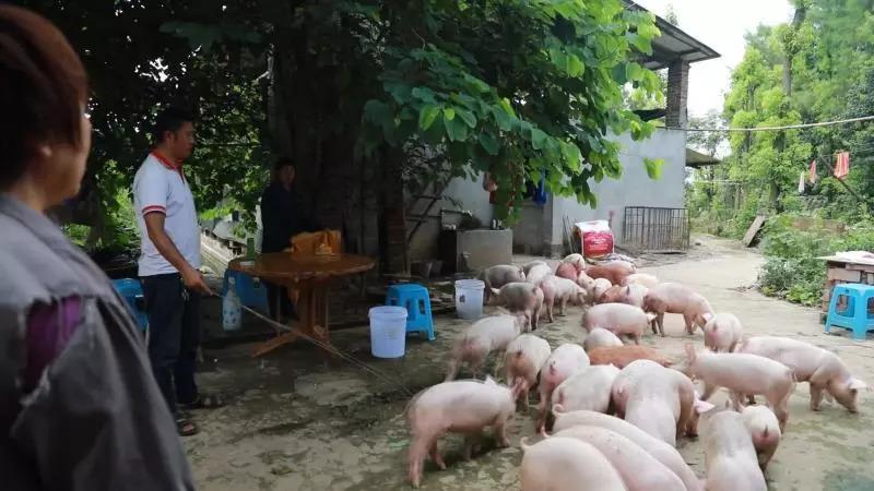 特驱农牧:4个月净增重211斤,要卖猪了别人还不信!