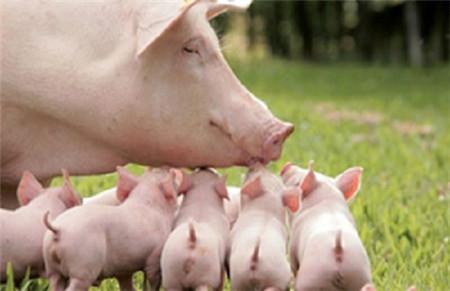 """母猪和小猪的""""五怕"""""""