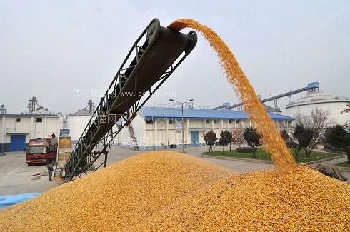 河南局地玉米价格突破1元/斤!秋收新玉米还能涨多少?