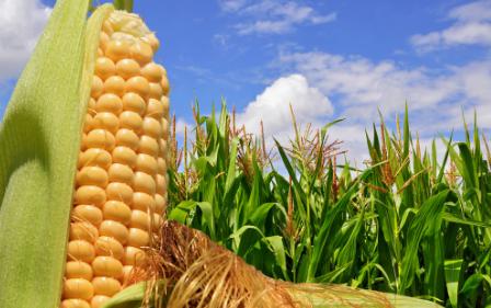 """2018玉米补贴正在统计,算""""大帐""""才能保收益"""