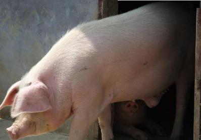 市场供应现紧张局面 猪价出现明显上涨行情