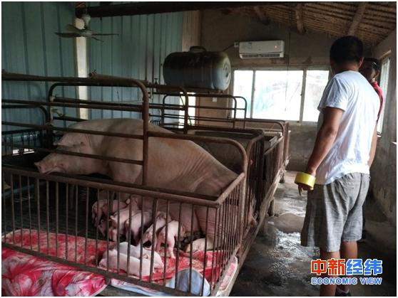 预防猪瘟有妙招!河南一养猪人给产房装空调防非洲猪瘟