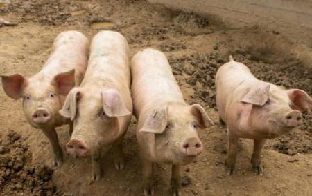 猪价连涨6天,可这两类养猪人却高兴不起来,为什么?