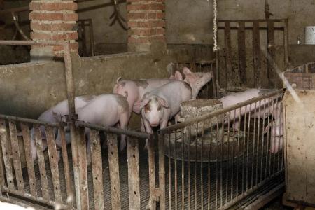老外净说大实话:亚洲害怕非洲猪瘟的20个原因。