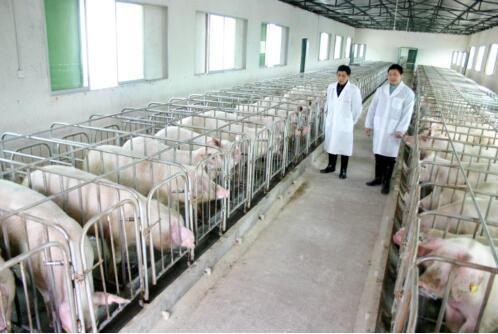 猪场如何由周批生产转型为三周批次生产(2)