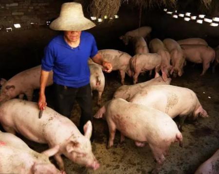 猪价连涨8天,有人却不想养了,养猪老农说出了其中的原因