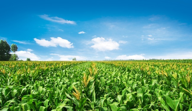 玉米拍卖火了! !新玉米价格也会借此东风吗?