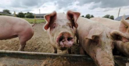 最新!日本发现野猪感染猪瘟