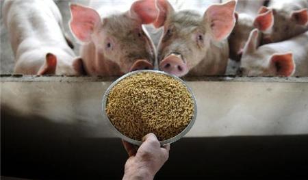 现代养猪场液态饲喂逐渐普遍,有何原因?